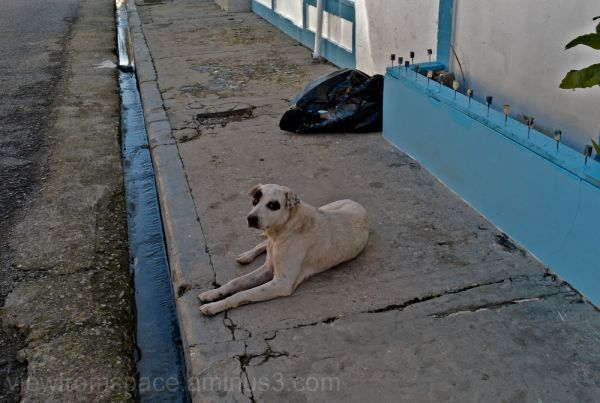street dog dominican republic