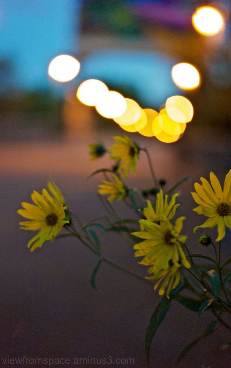 yellow flowers forks winnipeg