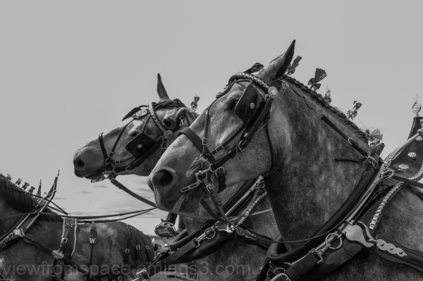 morris stampede, manitoba canada, horses
