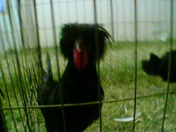 Punk Chicken