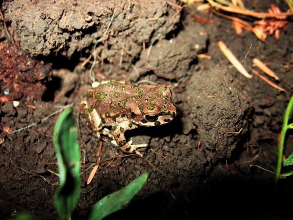 frog andrei