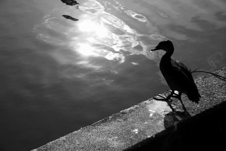 black and white picture of duck by water