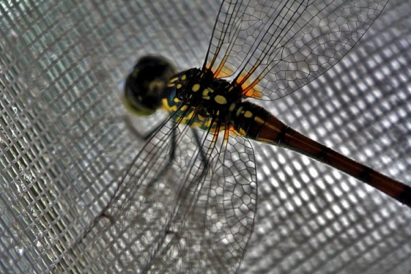 dragonfly on curtain