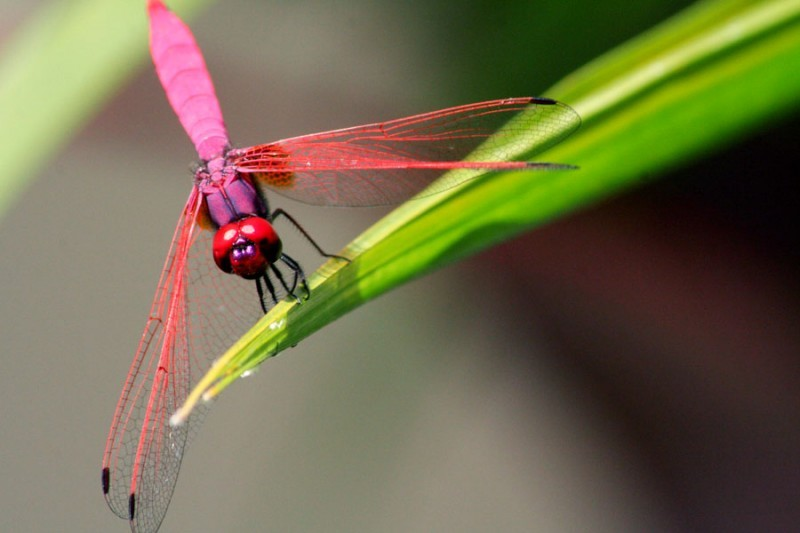 macro shot of pink dragonfly against green leaves