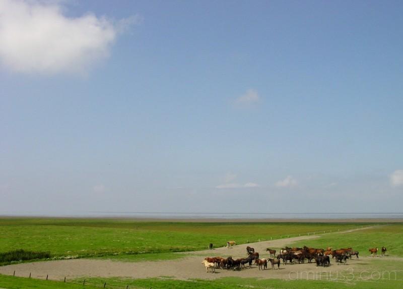 Horse herd at Wadden coast