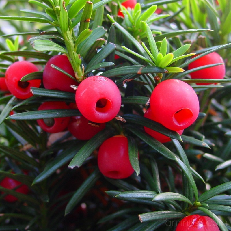 Taxus Berries (Taxus Baccata)