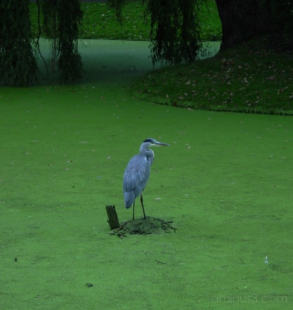 Heron in Duckweed in Park