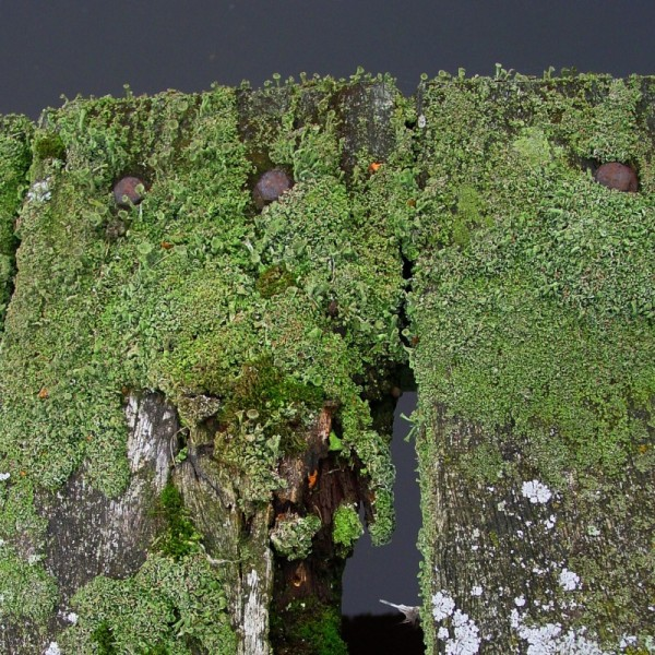 Scaffold covered with moss (Cladonia spec.)