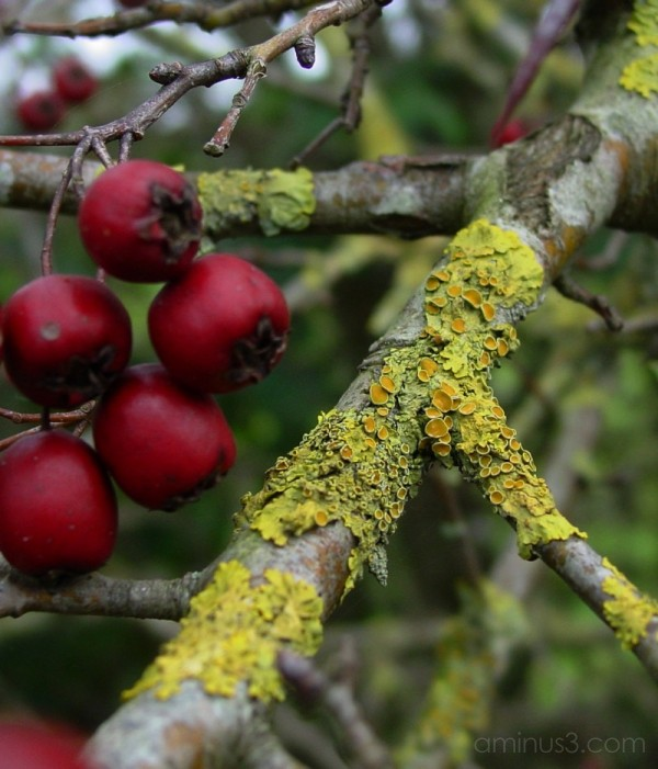 Hawthorn with moss