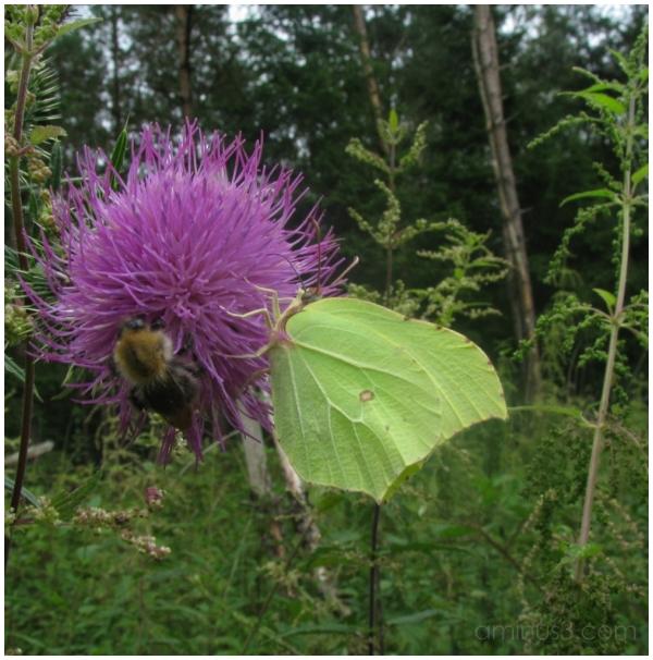 Gonepterix Rahmni (Brimstone Butterfly)