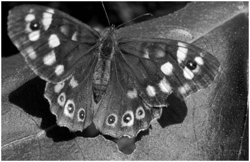 Pararge Aegeria (Speckled Wood)
