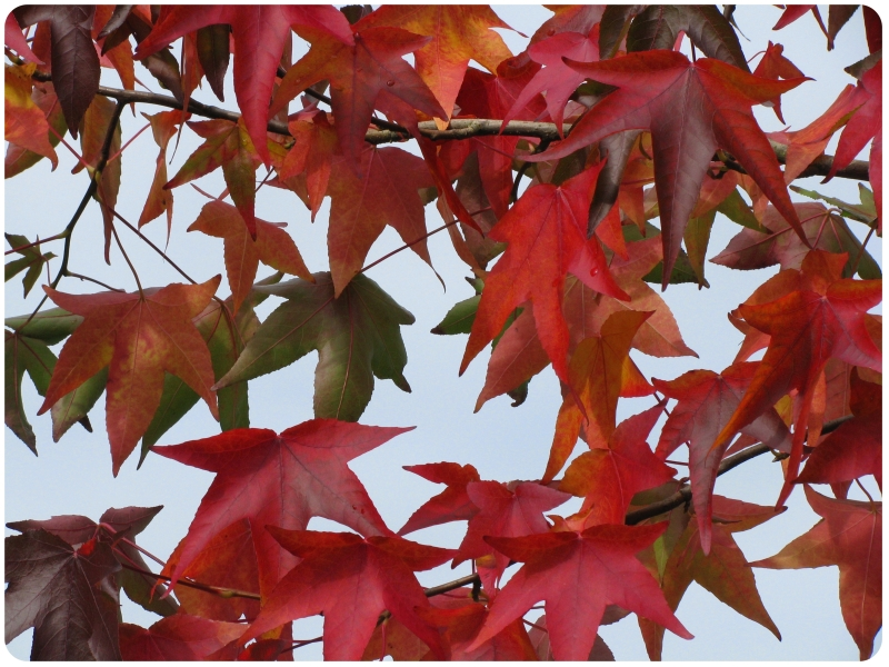 Amber Tree (Liquidambar spec.)