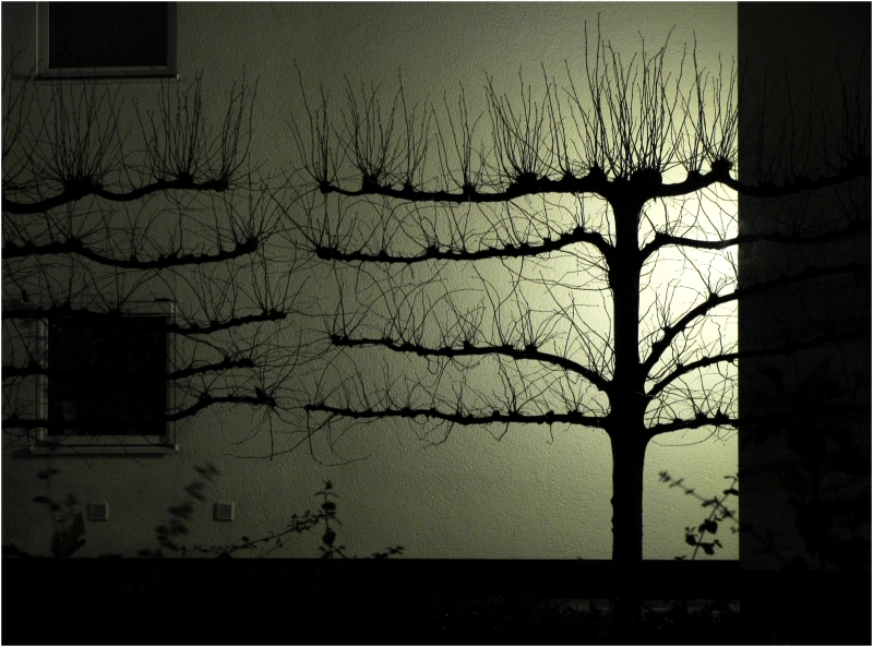 Pruned lime-trees against a lighted wall