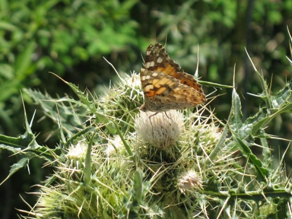 BUTTERFLY ON CACTUS FLOWER