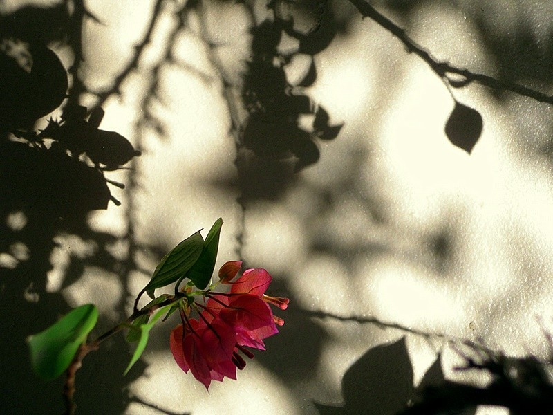 Bouganvillea in light with shadows
