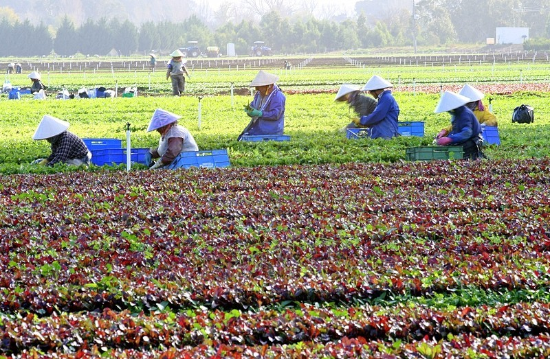 Workers at a vegetable farm
