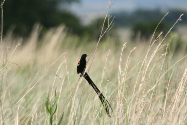 Long-tailed Paradise Widow