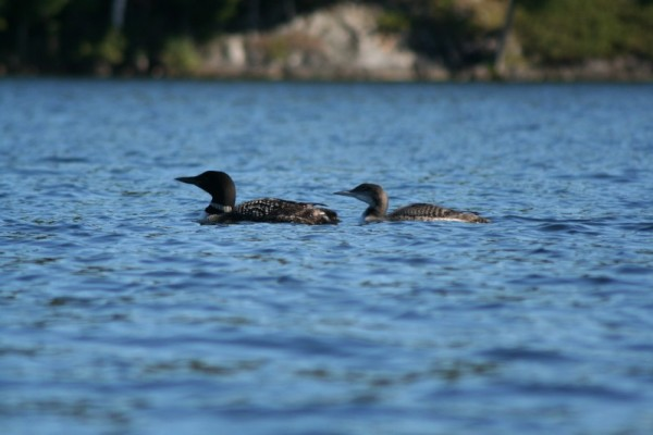 Loon & baby