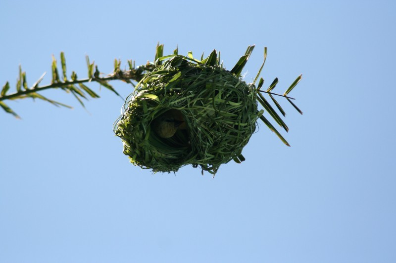 African Masked Weaver (III)