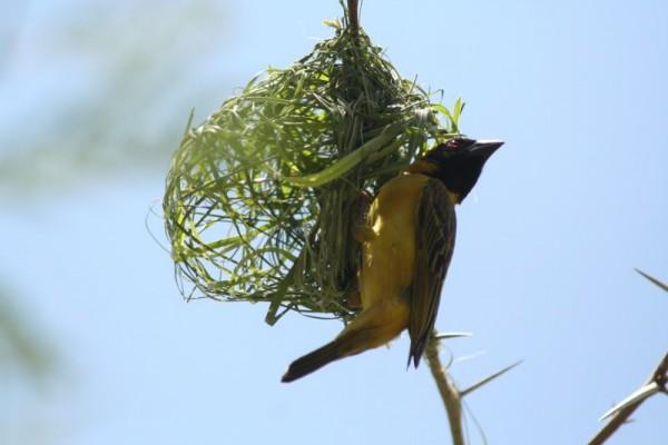 African Masked Weaver (IV)