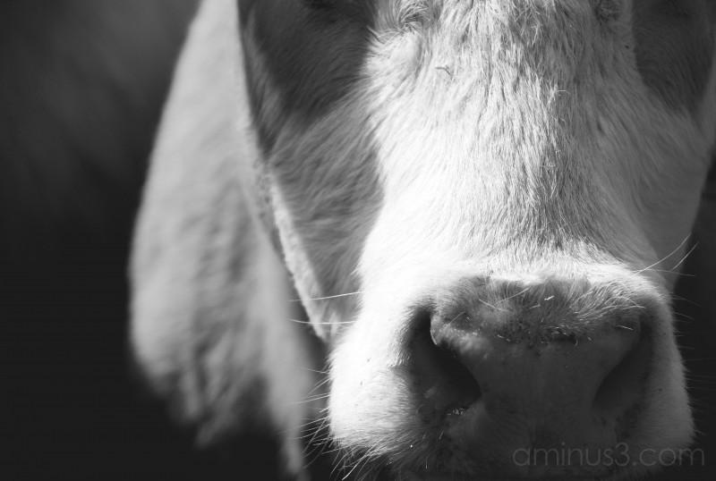 Bovine Portraiture: Sniff