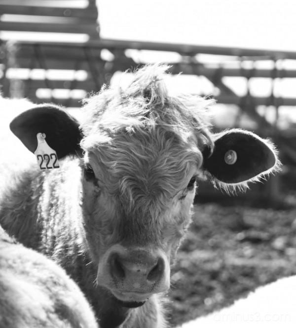 Bovine Portraiture: Faux-Hawk