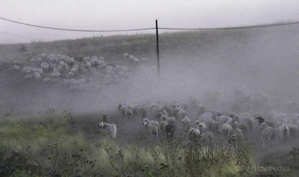 sheep karakayalar