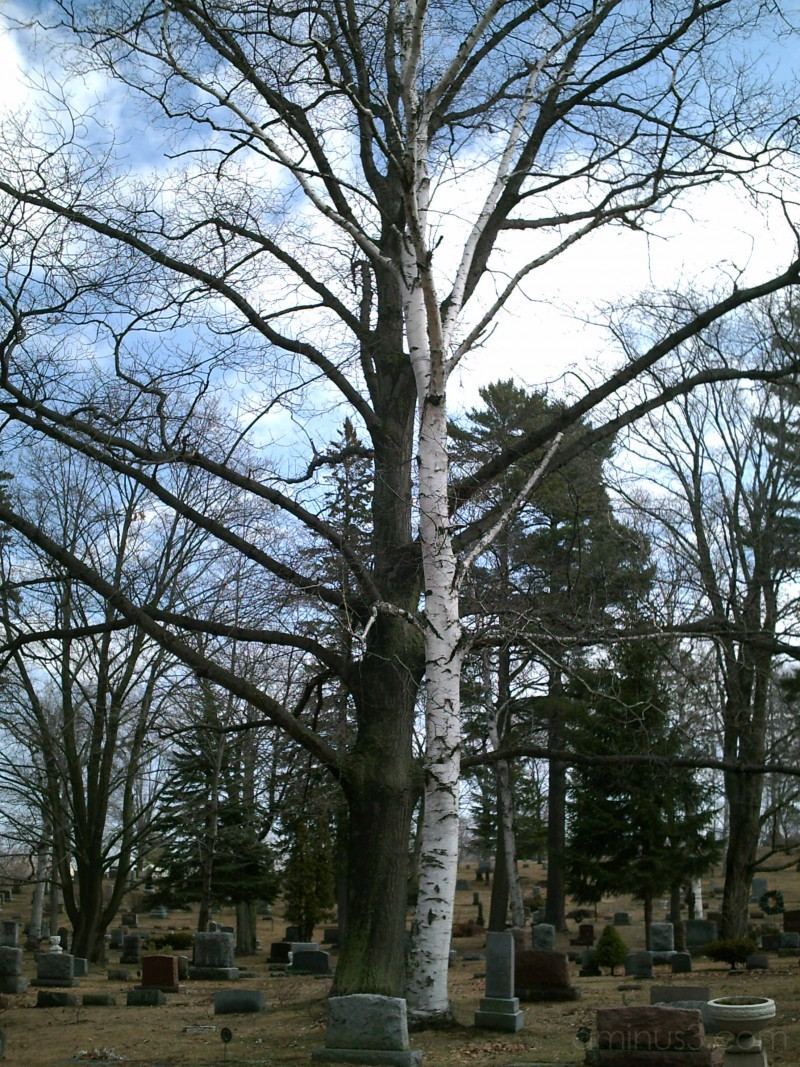 birch and oak or maple tree in cemetery