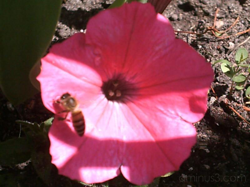 bee on petunia