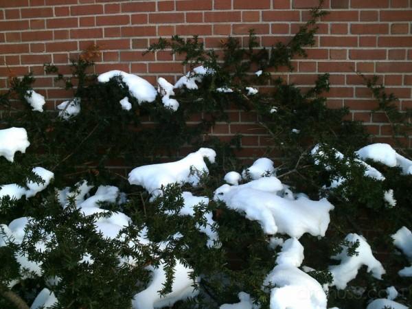 Snow and Shrubs