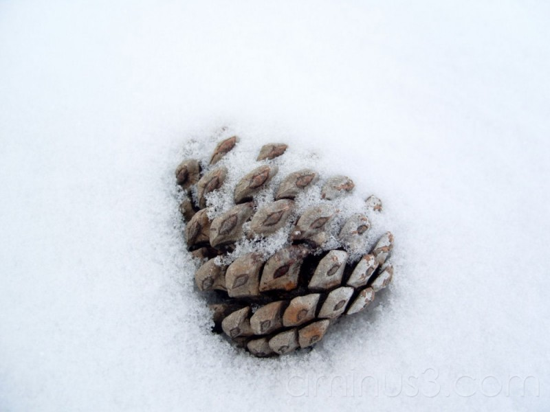 Pinecone in the Snow
