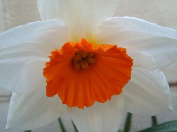 White and Orange Daffodil