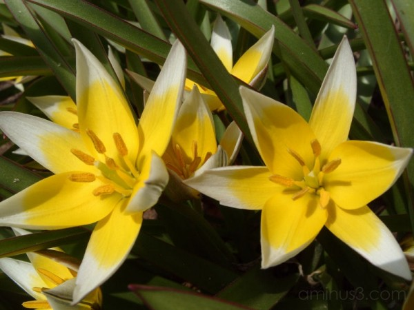 Small Tulips