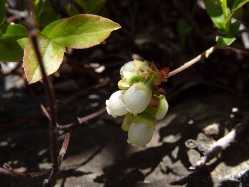 Wild Blueberry Blossom