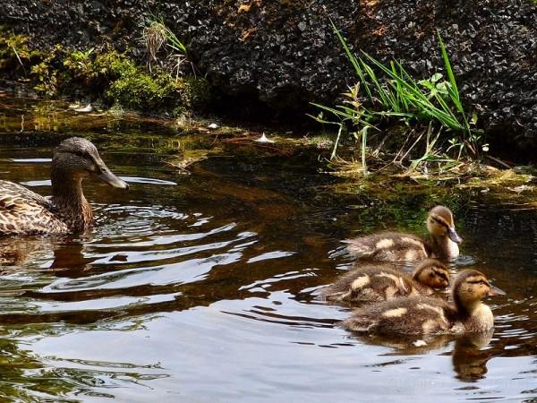 Little Baby Duckies