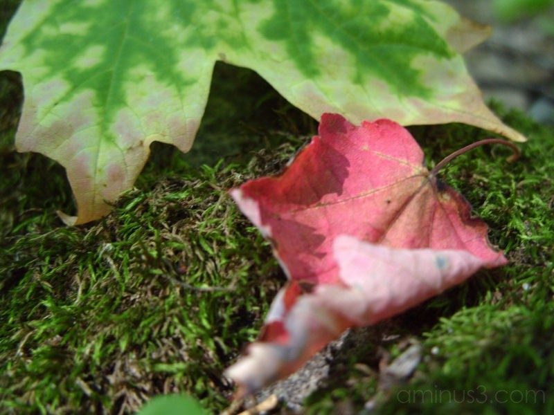 Maple Leaves and Moss