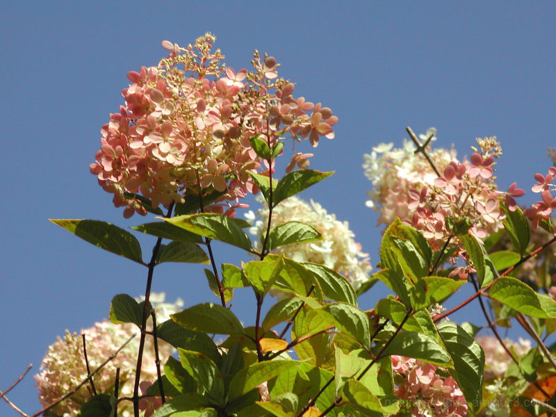 Blushing Hydrangea