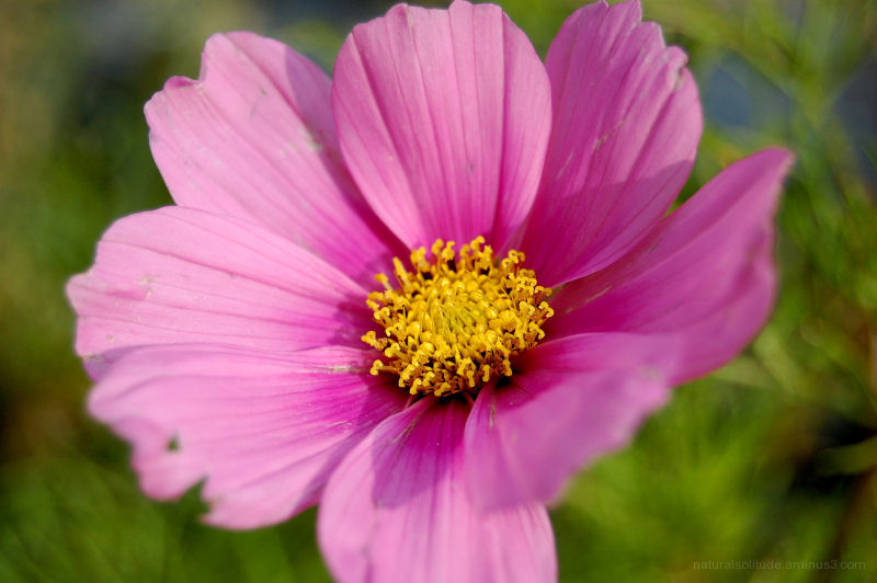 Pink Cosmo