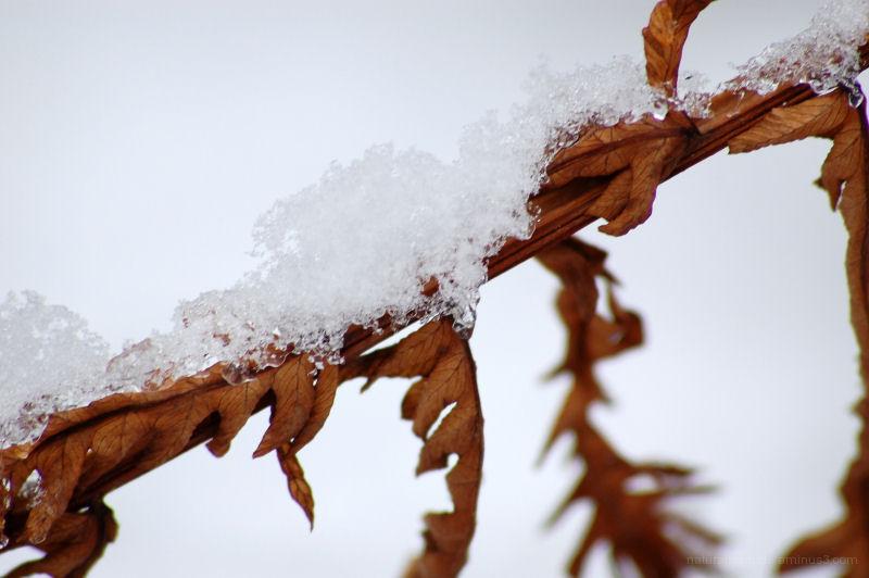 Snow on Dead Fern