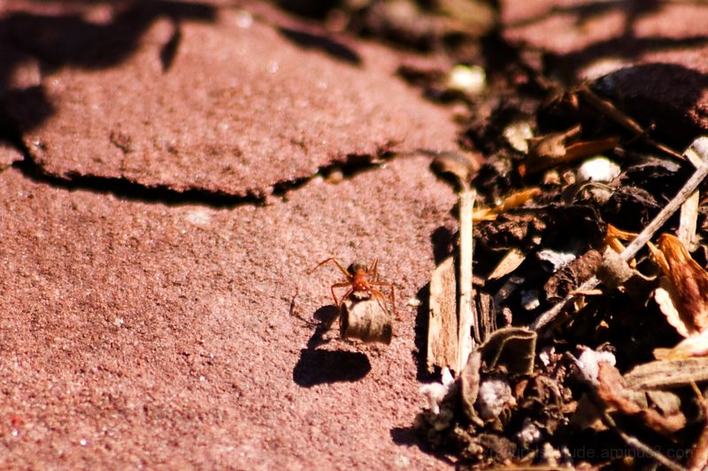 Little Red Ant