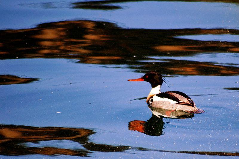 Male Red-Breasted Merganser