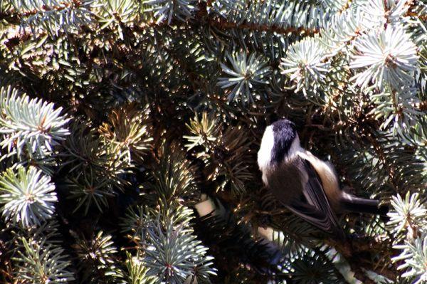 Upside-Down Chickadee