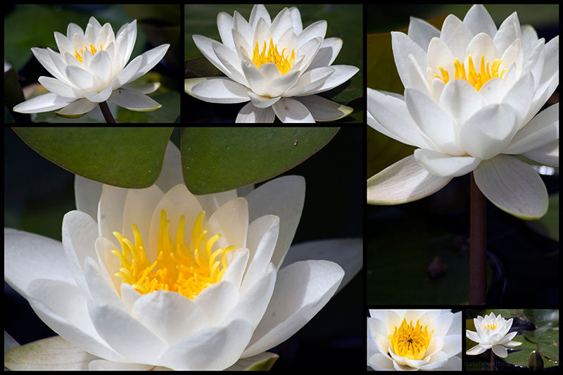 Water Lily Collage