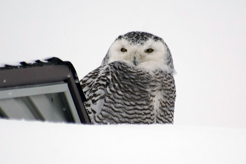 Another Snowy Owl