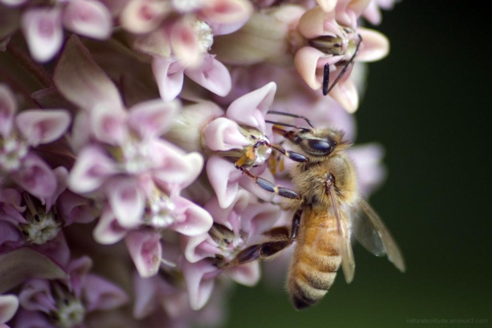 honeybee on milkweed