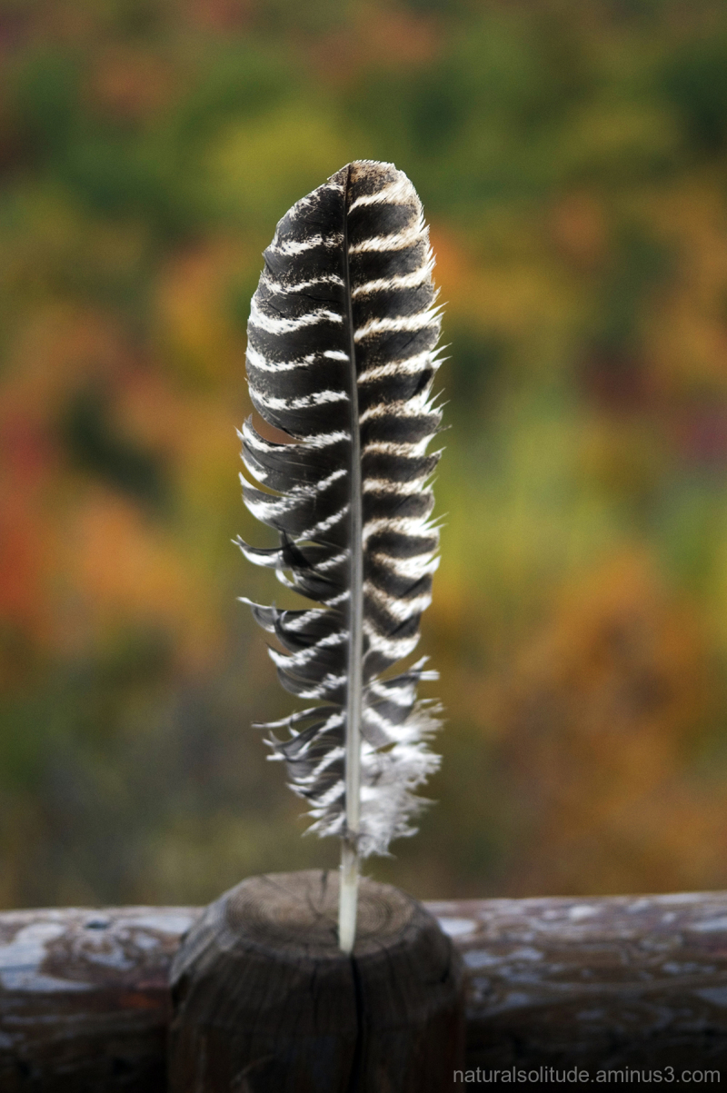 Turkey feather with autumn colors