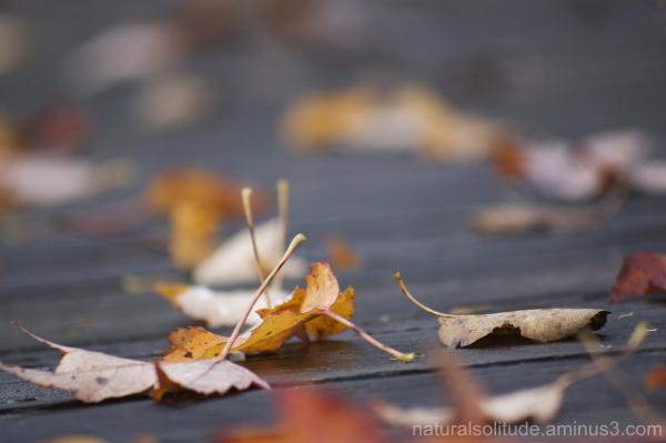 Autumn leaves on boardwalk