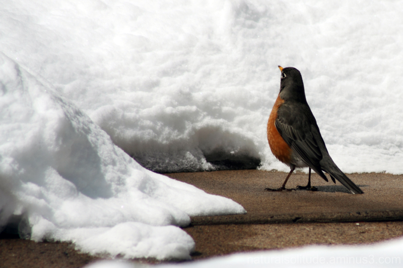 robin sizing up a snowbank in spring