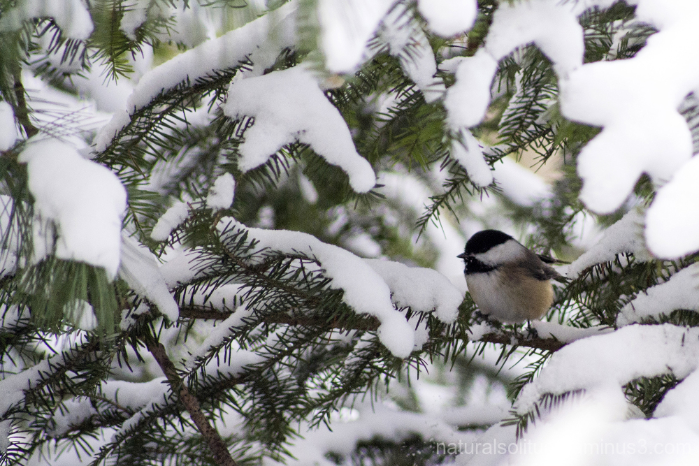 black-capped chickadee on a cold winter's day