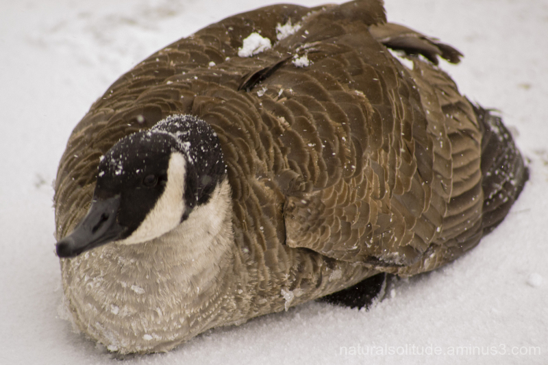 Canada goose stranded for the winter